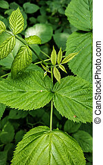 raspberry leaf closeup on a background of forest green leaves with an accent