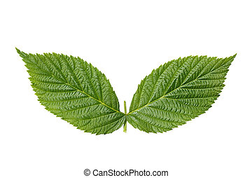 Raspberry leaf isolated on white background