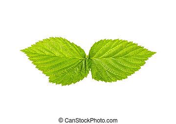 Raspberry leaf on white background