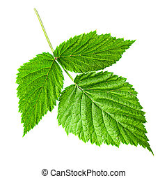 Raspberry leaf isolated on white