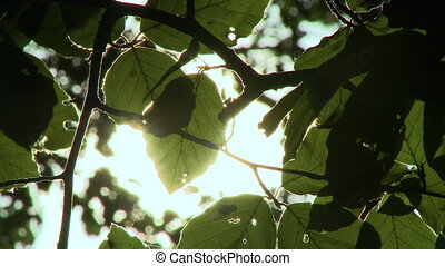 Raspberry leaves framed against a glowing sky - Close up of...