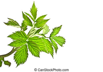 Raspberry leaves, isolated on a white background