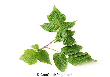 raspberry leaves isolated on white background