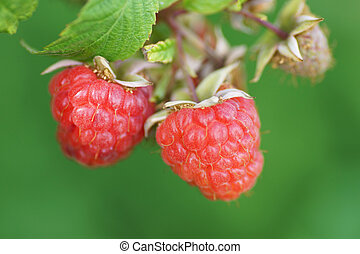 Raspberry on a bush in the garden