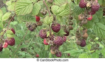 raspberry, - raspberries in the garden.