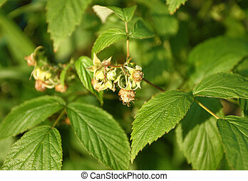 Raspberry shrub - Small raw raspberriess on wild shrub