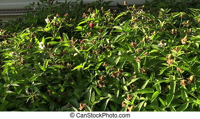 raspberry strawberry bush - unripe green raspberry...
