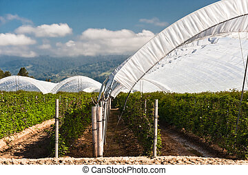 Raspberry Tents - Hoop tents over raspberry vines growing in...