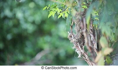 rassemble, matériel, nesting, colibri
