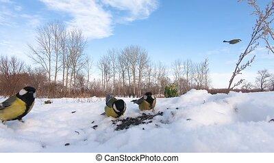 rassembler, graines, neige, mésanges
