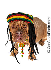 Rasta Doggy - Funny View on a Big Doggy in Rastafarian Hat