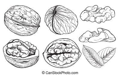 Raster walnut on white background. Isolated nuts. - Walnut...