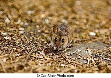 ratón, piso bosque