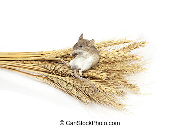 ratón, trigo
