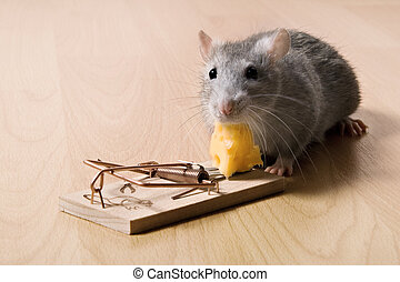 rat and mousetrap with cheese