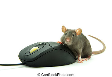 rat and computer mouse - Rat and a computer mouse on white...