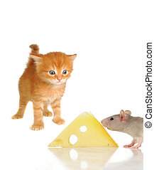 Rat and kitten on a white background...