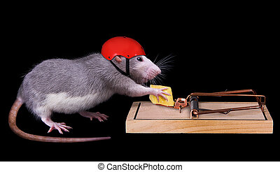 A rat is trying to steal a piece of cheese that is bait in a rat trap. She is wearing a helmet on to protect her.