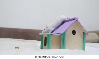 rat climbs a wooden house a hole cute video out of the burrow of a house and sniffs food in search of food . cute mouse albino rat pet goes to the house. white rat concept lifestyle cute.