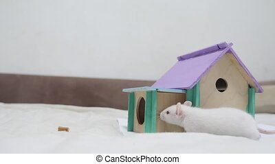 rat comes inside wooden house a hole cute video out of the burrow of a house and sniffs food in search of food . cute mouse albino rat pet goes to the house. white rat concept lifestyle cute.