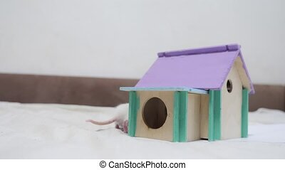 rat coming out climbs on top of wooden house sniffing nose a...
