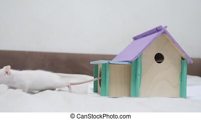 rat coming out of wooden house sniffing nose a hole cute video out of the burrow of a house and sniffs food in search of food . cute mouse albino rat pet goes to the house. white lifestyle rat concept cute
