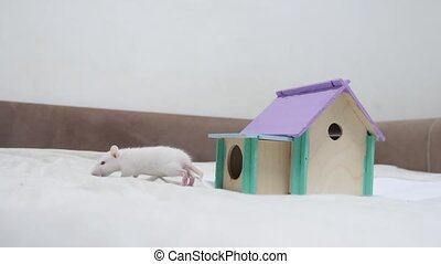 rat coming out of wooden house sniffing nose a hole cute video out of the burrow of a house and sniffs lifestyle food in search of food . cute mouse albino rat pet goes to the house. white rat concept cute