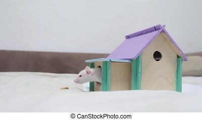 rat coming out of wooden house sniffing nose a hole cute video out of the burrow of a house and sniffs food in search of food . cute mouse albino rat pet goes to the house. white rat concept cute lifestyle.