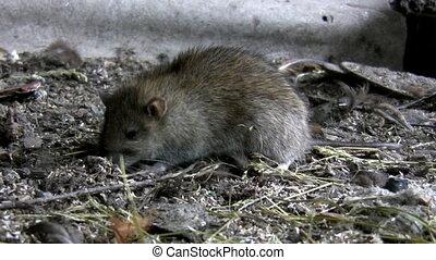 Rat is feeding in it's natural habitat, filthy farm ground