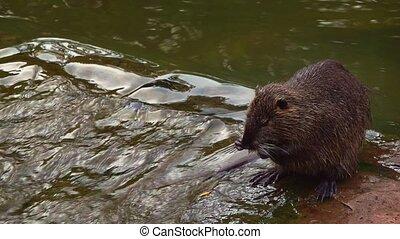 rat, eau, ruisseau