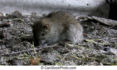 Rat on the filthy farm ground looking for food, sniffing leaves the scene