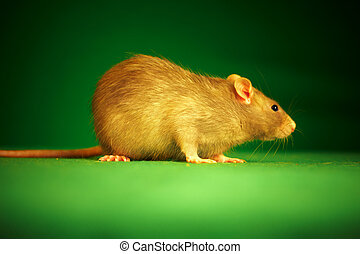 rat, groene achtergrond
