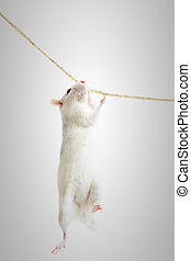 rat hanging on a rope