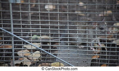 rat in a trap - a rat caught in a humane animal trap