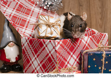 Rat is a symbol of the new year.Gray rat looks at gift boxes.Funny little rat in a gift box. Symbol of the year 2020.