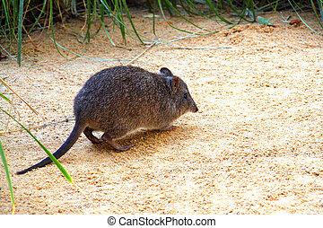 rat-kangaroo., potoroo, aussi, long-nosed, -, mis danger, ...
