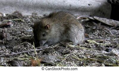 rat, loin, va