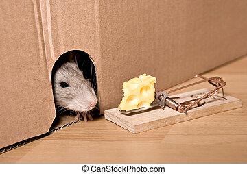 rat, mousetrap and cheese - rat  and mousetrap with cheese