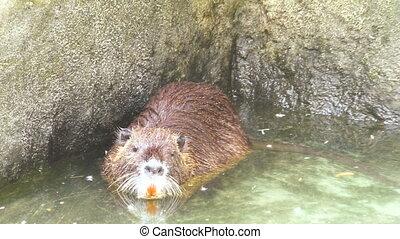 rat musqué, flotte, water.