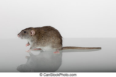 rat on the glass