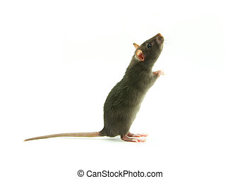 rat on white  - funny rat  isolated on white background