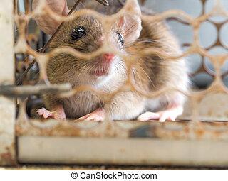 rat., pas, avoir, mice., attraper, contagion, habitations, devez, cage, maladie, tel, fear., a, plague., yeux, était, maisons, exposition, humains, rat, leptospirosis