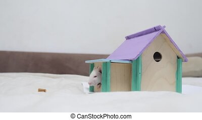 rat peeking out wooden house a hole cute video out of the burrow of a house and sniffs food in search of food . cute mouse albino rat pet goes to the house. white rat concept lifestyle cute.