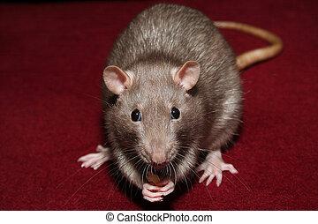 Rat - Picture of a rat