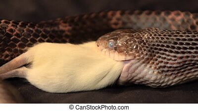 rat snake during the swallowing process