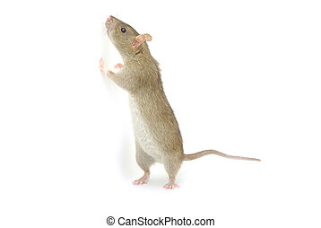 Rat - rat isolated on a white