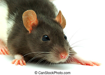 rat isolated on a white background