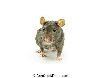 rat   - gray rat  isolated on white background