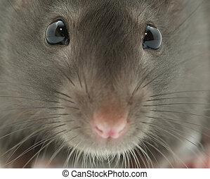 rat  - Black funny rat close up