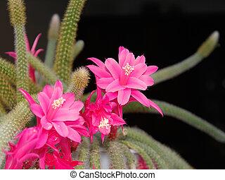 Rat Tail Cactus flowering on the dark background. Scientific Name: Disocactus flagelliformis (Latin), Family: Cactaceae